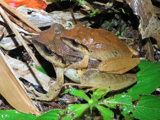 mindo ecuador amplexus frogs pristimantis achatinus or p w nigrum