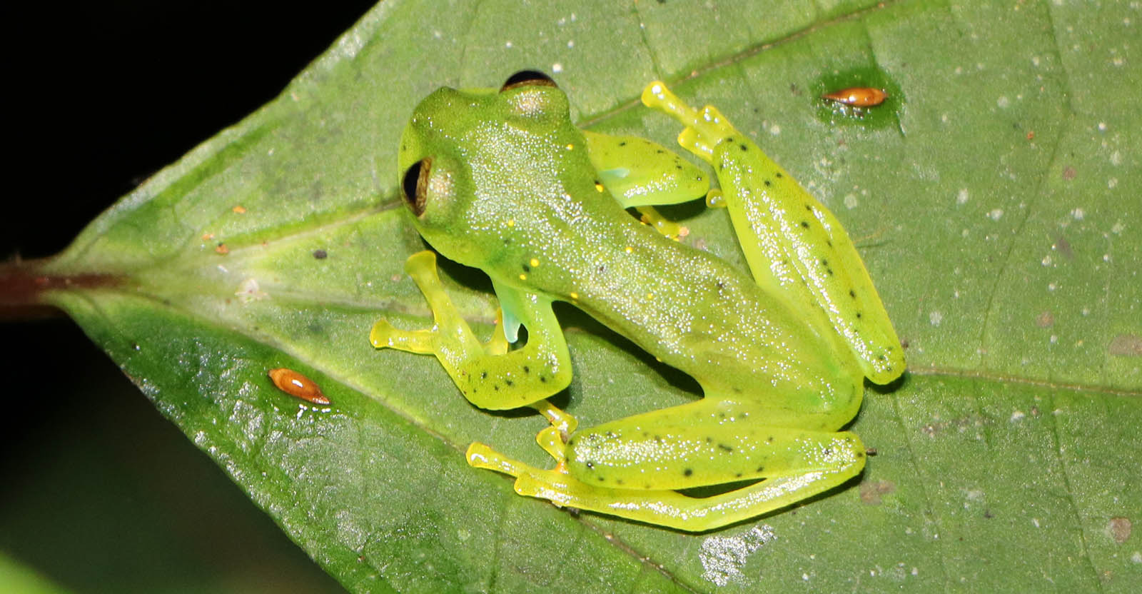 Save The Frogs Presentations Glass Frog