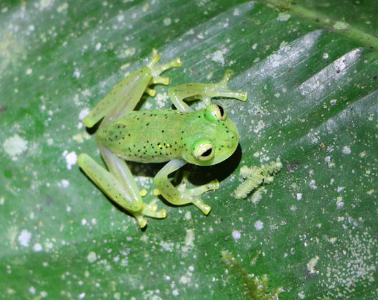 Mindo Glass Frogs