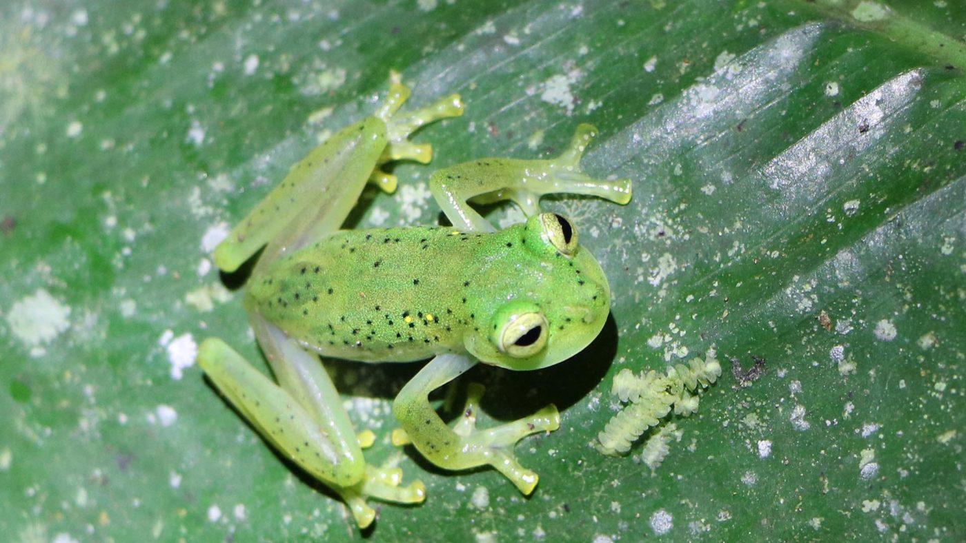 Mindo glass frog