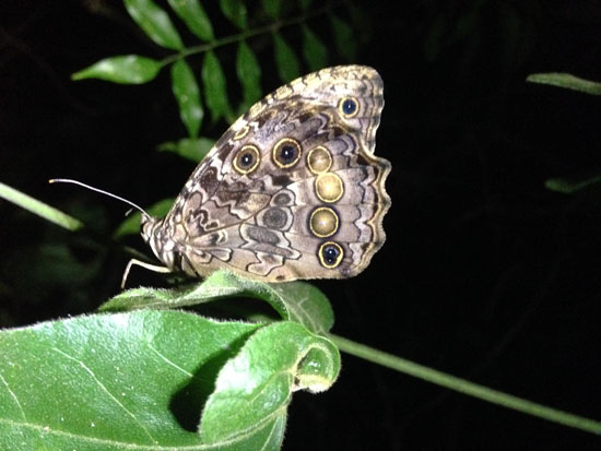 monteverde butterfly
