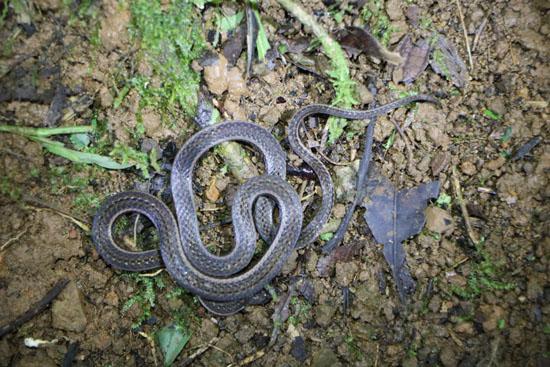 monteverde snake