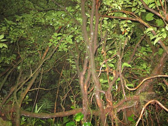 monteverde trees