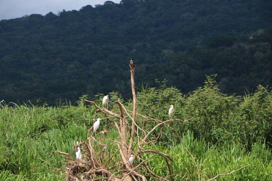 pacific egrets