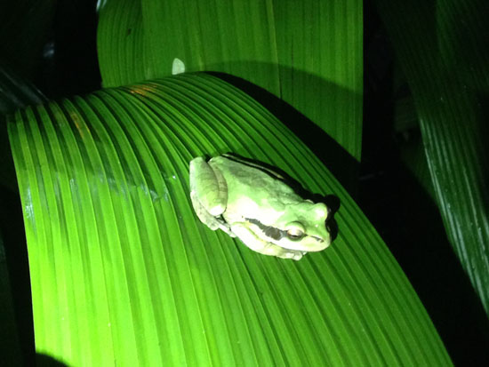 pacific green frog