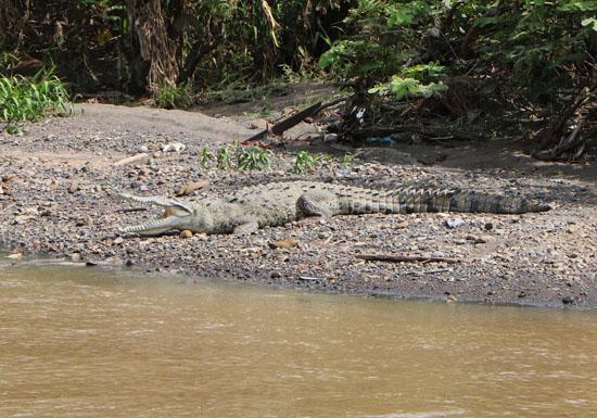pacific tarcoles crocodile mouth 1 a