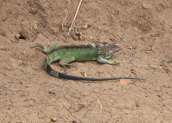 pacific tarcoles green iguana