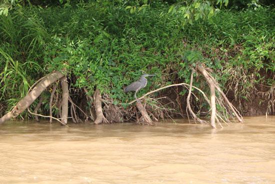 pacific tarcoles heron