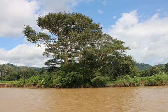 pacific tarcoles tree