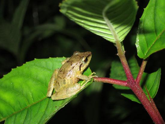 pristimantis pharangobates