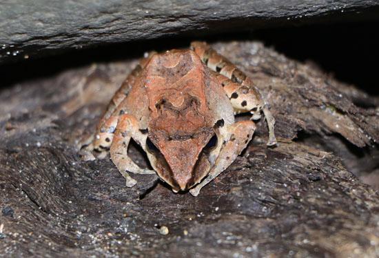 quijosfrog 1a