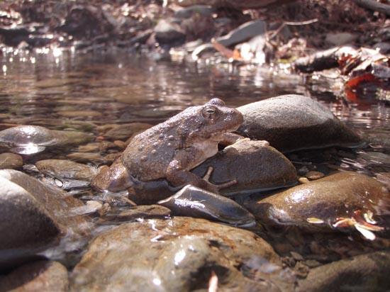 rana boylii alameda creek sarah kupferberg