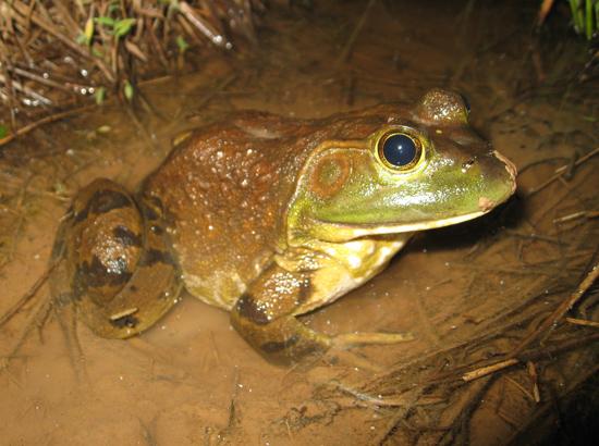 rana catesbeiana american bullfrog