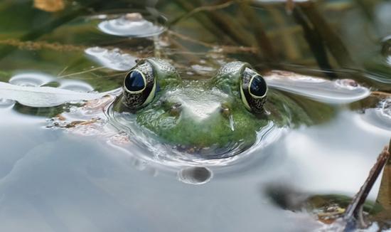 bullfrog importation