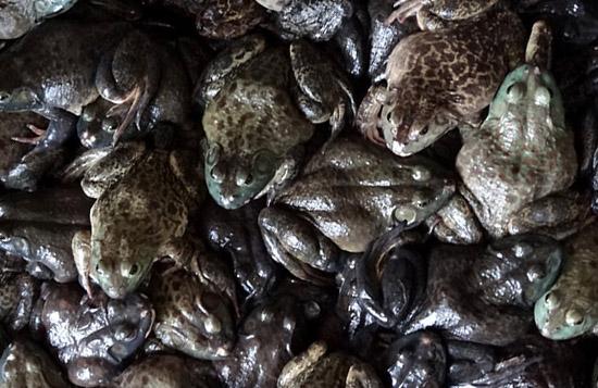 san francisco bullfrogs market