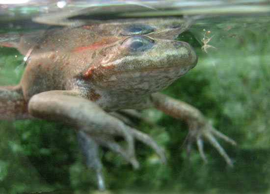 rana pretiosa oregon spotted frog