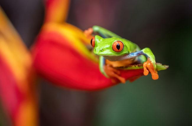 red-eyed-tree-frog-in-costa-rica agalychnis callidryas