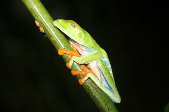 sarapiqui agalychnis callidryas 1