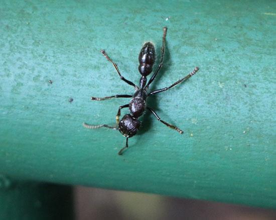 sarapiqui bullet ant