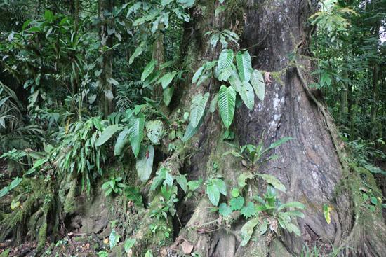 sarapiqui forestJPG