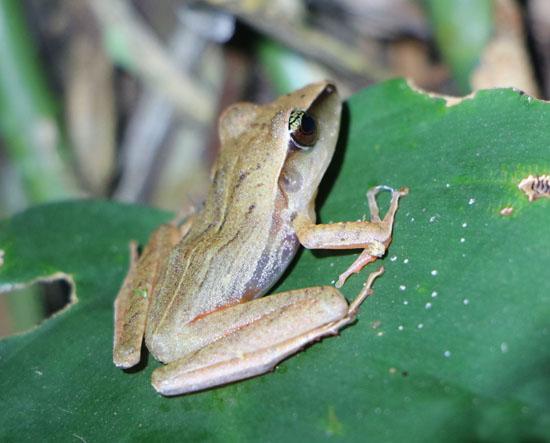 sarapiqui frog 5