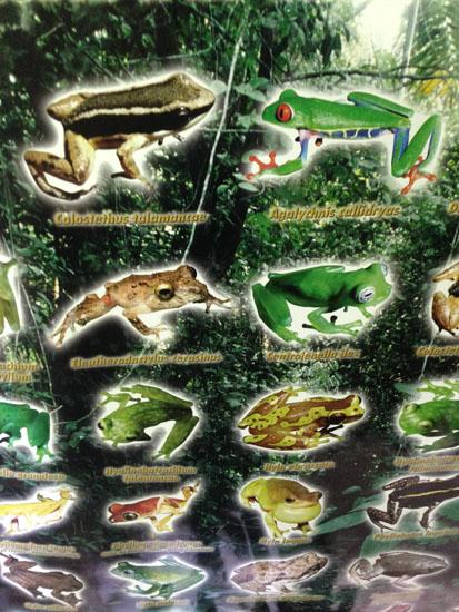 sarapiqui frogs poster 1