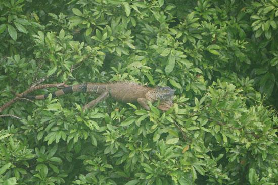 sarapiqui iguana 1