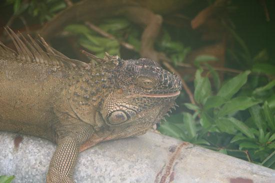 sarapiqui iguana 2