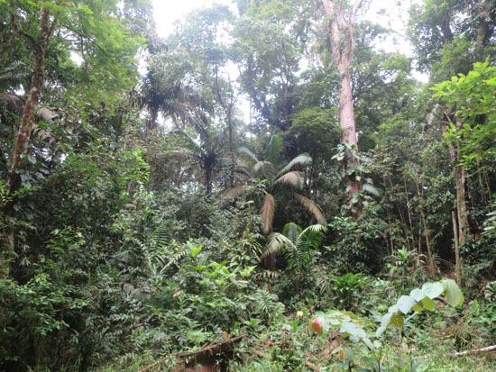 sarapiqui la selva forest