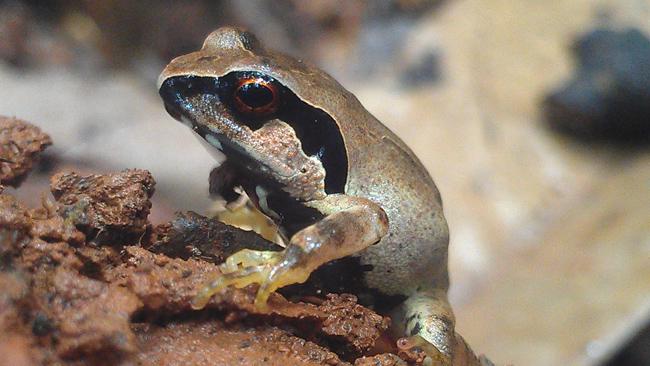 giant squeaker frog Arthroleptis krokosua