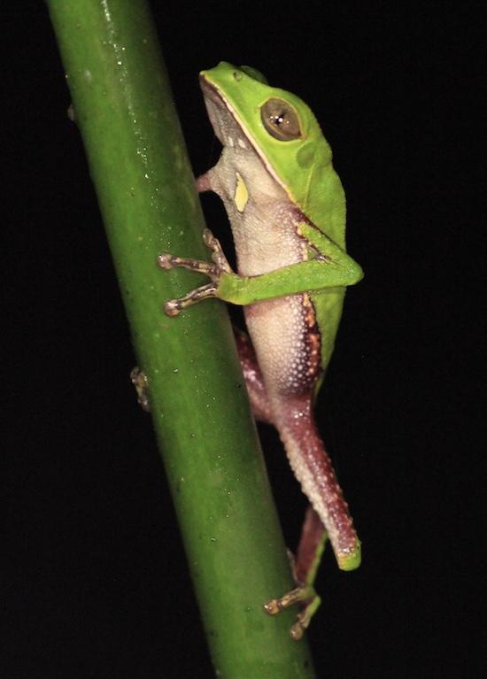 suchipakari monkey frog