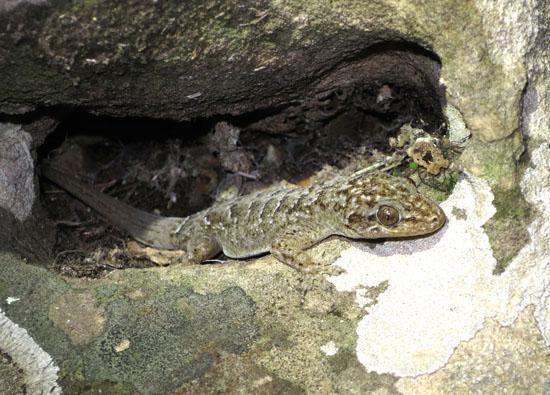 tobati gecko