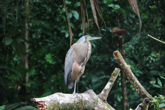 tortuguero heron 2