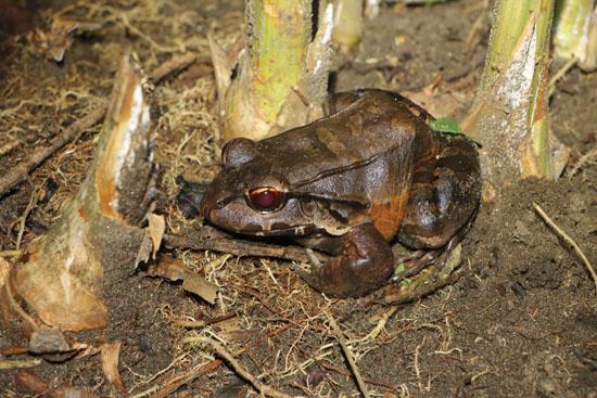 tortuguero leptodactylus savagei 3