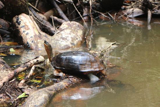 tortuguero turtle 2