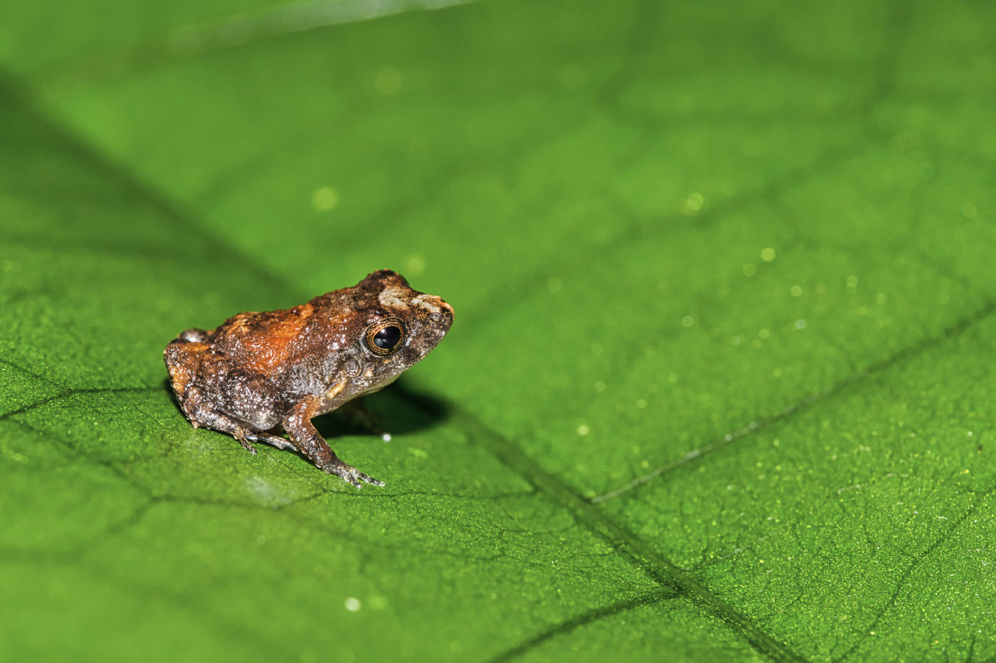 tropical-frog-tropical-rainforest-costa-rica leaf litter frog